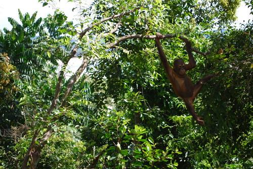 orangatan_tree_1