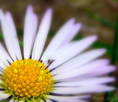 Daisy's Bug (Robert~EOS~60D) Tags: white plant flower macro nature yellow bug garden daisy mywinners diamondclassphotographer tz3 macromarvels