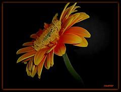 (ccmerino) Tags: flowers flower macro nature flora macros gerberas masterphotos anawesomeshot diamondclassphotographer flickrdiamond macromarvels awesomeblossoms