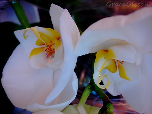 White and yellow orchid