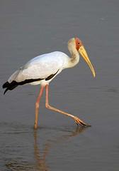 Yellow Billed Stork, South Luangwa