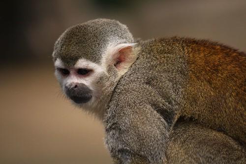 手足が金色なんですが・・・ / Common Squirrel Monkey