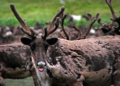 reindeer at natalia bay (Kamchatka) (Russell Scott Images) Tags: reindeer russia arctic caribou kamchatka rangifertarandus olyutorskyregion nataliabay