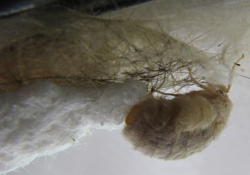 "White-marked Tussock Moth, view from behind - Moth is looking ""furry""!"