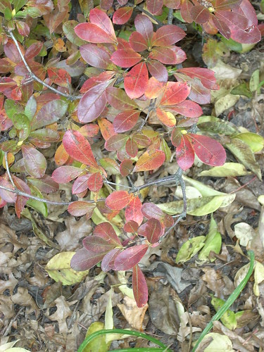Fall Azalea Leaves