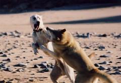 Napoleon and Tonka Play.jpg (btoddpuls) Tags: camping friends camp dog beach dogs sand rocks play forrest pentax action napoleon spotmatic alpha lakesuperior tonka goofs nd8 nuetraldensity8