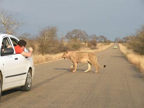 Juv. Male Lion Crossing the Road