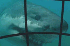 27 megalodon is coming