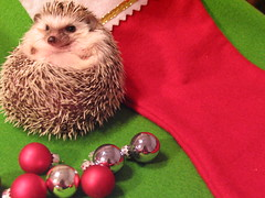 Hoggle_by_madflowr03 (Leigh (Rhymes with Twee)) Tags: christmas xmas holiday cute ornament hedgehog stocking hedgie africanpygmyhedgehog hedgies hoggle