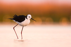 Black-winged Stilt (Jon Thornton) Tags: d2x australianbirds blackwingedstilt naturesfinest specanimal jonthornton