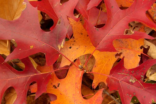 Scarlet Oak Leaves by pellaea.