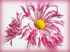 pink shaggy mums (Lyubov) Tags: flower flowers mum mums nature chrysanthemum chrysanthemums thebiggestgroup pink shaggy wow beautiful diamondclassphotographer platinumphoto blueribbonwinner superbmasterpiece supershot gorgeous superb theperfectphotographer theunforgettablepictures