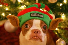 Merry Christmas from Elfin Plumm!! (All-Mighty Clothing) Tags: christmas tree cute boston lights elf terrier elfin allmighty