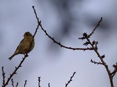Capvespre amb ocell - Crepúsculo con pájaro - Evening with bird