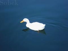 Elegancia (Sobek4) Tags: parque lake mxico lago duck agua aves ave pico reflejo animales puebla patos piedra ecologico plumifera angelopolis emplumada