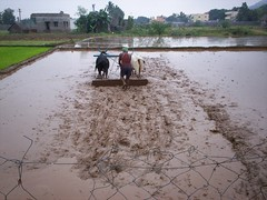 Rice Field Preparation.