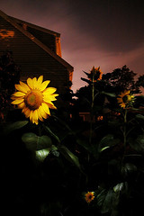 DC1235 Sunflowers at Night 2003 (Paul Light) Tags: