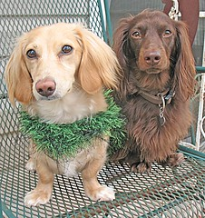 Honey and Teddy (Doxieone) Tags: irish dog cute green english chair long crochet cream dachshund jacket honey blonde haired coll longhaired honeydog englishcream halloweenfall2008set