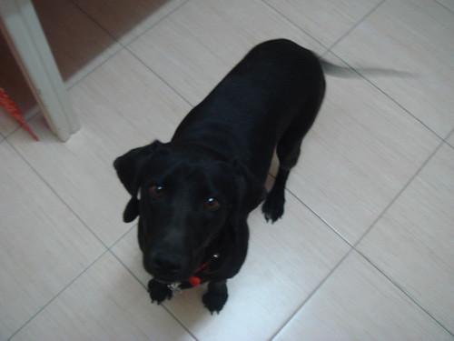 Black pointer-type found in Nicosia on March 4th 2310965190_851faebd40