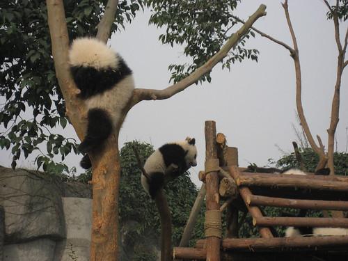 Baby pandas chillin'