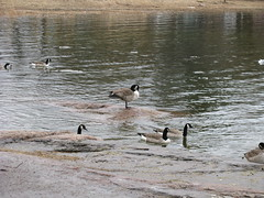 Helsinki 25 (Andrejček) Tags: animals finland helsinki animalplanet canadagoose brantacanadensis