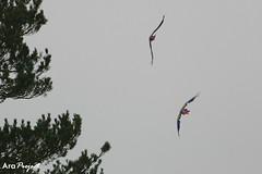 Macaws on the wing (City Parrots) Tags: uk bird amazon unitedkingdom parrot cumbria loro feral cotorra scarletmacaw papegaai amazone naturalized guacamayo freeranging cityparrots macao lorolibre geelvleugel ara ara lapa roje