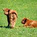 Highland cattle - calves