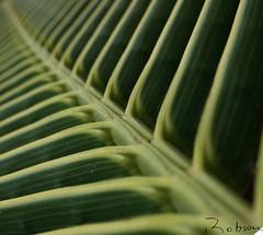 Perspectiva - Perspective (Robson Borges) Tags: brazil tree verde green brasil coconut natureza perspective palm diagonal coco palmtree perspectiva arvore folha goiânia coqueiro goiás ecologia mouseion camaradeourobrasil robsonborges nutbearing
