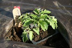 purple calabash seedling