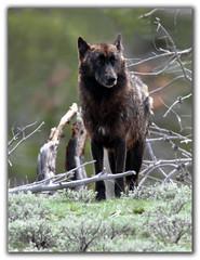 Who's afraid of the Big Black Wolf... (csnyder103) Tags: black wolf wildlife canine explore yellowstonenationalpark orangeeyes specanimal superbmasterpiece