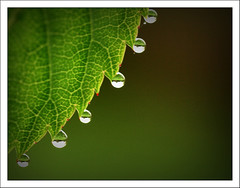 Leaf and Drops (-terry-) Tags: green water rain leaf drops thumbsup twothumbsup the4elements superaplus aplusphoto flickrchallengegroup flickrchallengewinner 15challengeswinner thumbsupwrestling tuw111