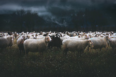 Sheep of Verdon (loic.pettiti) Tags: programmanual f42 speed125 iso125 focallength1100mm35mmequivalent1650mm focusmodeafc afareadynamicarea3dtracking shootingmodesingleframe autoiso vron ev13 meteringmodemultisegment wbauto1 focusdistance1413m dof278m12871565 hyperfocal14383m f456 g vr lenstamron70300mmf456divcusd