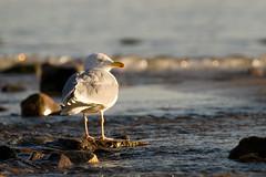 The European herring gull (Larus argentus) (Aleoko) Tags: fotocompetitionbronze fotocompetition