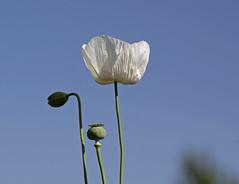 Amapola blanca  (Repeticin de este ao) (vte.) Tags: white flower macro fleur flor blossoms blanca poppy rosella silvestre coquelicot papaver poppys amapola cornpoppy papoula gineceo adormidera encarnado ababol mitxoleta papaverorosso papuela rossopapavero