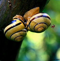 when snails making love and a jealous little spider is watching them (a.rud.beth) Tags: macro spider bokeh snails soe makinglove sexsells naturesfinest gtaggroup abigfave aplusphoto eroticgames naturewatcher theperfectphotographer excapturemacro snailslove