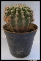 Kaktusss...