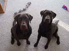 Labs wanting to play: Dakota & Cheyenne