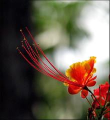 Red Flower (Midhun Manmadhan) Tags: red flower macro dof