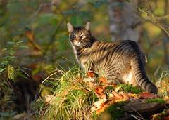 Tiger (Mats&Muffi) Tags: pet cats pets animal cat nikon tabby tiger kitty d200 cc200 cc100 platinumphoto