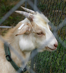 Goat with abscess