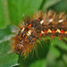 The caterpillar lunch - oruga peluda 01 - Acronicta rumicis