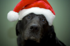 Help! (erin jaffe) Tags: santa christmas dog lab blacklab santahat canonrebelxt 50mm18 thelittledoglaughed