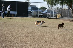 IMG_3398.JPG (notagrouch) Tags: winter pets chihuahua cute beagle dogs wet water puppy fun happy hotdog furry tales coat balls ears running excited bulldog biting bark poodle doggy activity frantic dogpark oc playful doggie fury irvine wrestle saturdaymorning humping barking chaser roaming doggiestyle centralbark dogie doggielove describethese titlethese