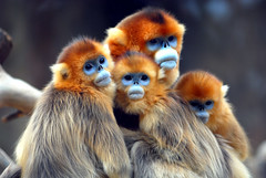 Golden monkey (floridapfe) Tags: family cute beautiful animal nose zoo monkey golden nikon innocent korea southkorea relative everland  goldenmonkey naturesfinest snubnosedmonkey supershot  d80 snubnose 35faves specanimal golddragon mywinners abigfave perfectangle platinumphoto anawesomeshot aplusphoto diamondclassphotographer flickrdiamond megashot theunforgettablepictures platinumheartaward   alemdagqualityonlyclub alemdaggoldenaward mansrelative