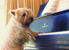 silence please (artfilmusic) Tags: dog westie piano terrier steinway westhighland