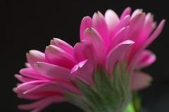 /Pink Gerbera #3 (Nam2@7676) Tags: flower macro japan dof pentax bokeh   tamron nam2 silkypix   kmount 7676  k100d tamronspaf90mmf28dimacro superbmasterpiece justpentax tamron90mm272e nam2at7676 yasunarinakamura  nam27676
