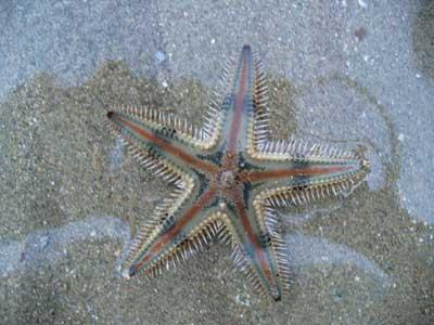 Seastar-P1050436