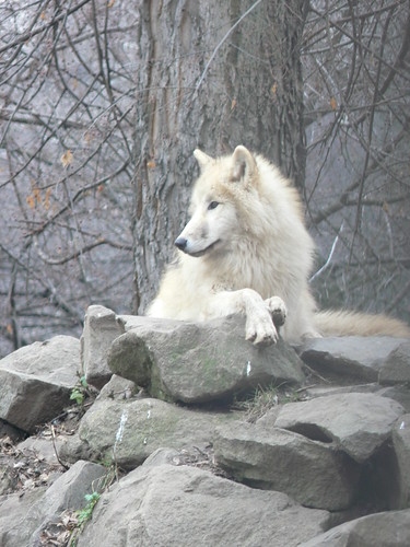 Tundrafarkas / Arctic tundra wolf | Flickr - Photo Sharing!