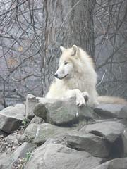 Tundrafarkas / Arctic tundra wolf (The Crow2) Tags: beautiful animal wow wonderful zoo amazing wolf gorgeous awesome budapest panasonic explore excellent lovely llat tundra farkas terrific dmcfz30 llatkert 1mill flickrenvy eyesofacherub thecrow2 peregrino27life