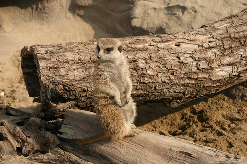 http://www coolwallpapers org/wallpapers/6/699/thumb/200_meerkat